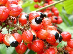 Guarana Früchte mit Samen